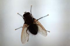 mosca-doméstica-en-la-ventana-50475374